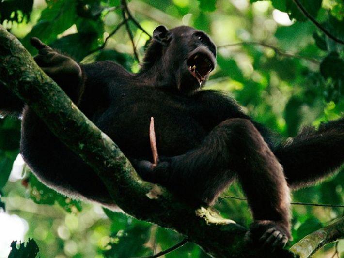 Chimpancé macho