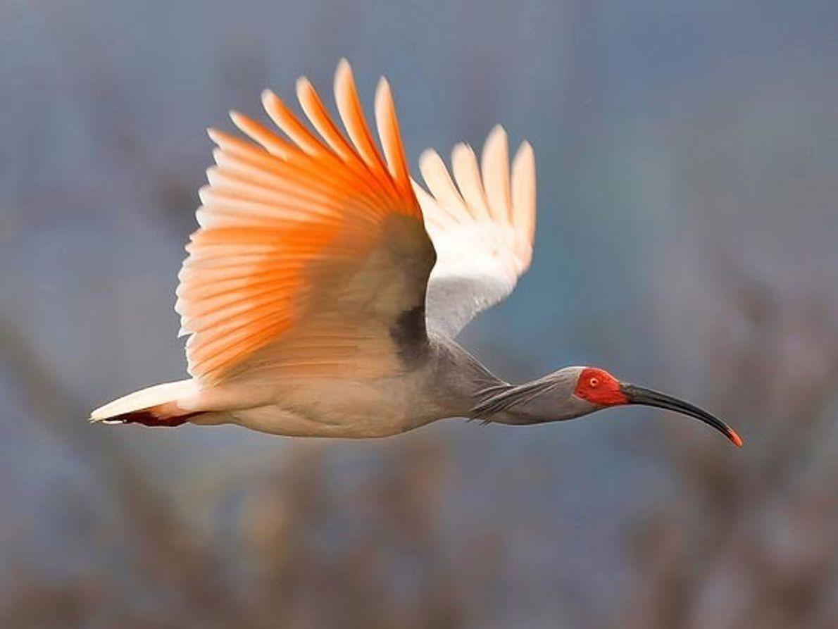 """""""Ibis Crestado de Asia"""","""