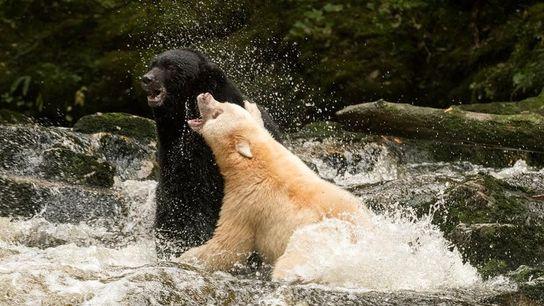 Oso negro y oso Kermode