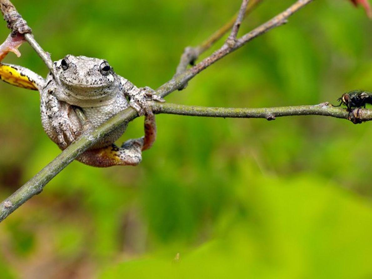 ¿Sabes cómo se alimenta una rana toro?
