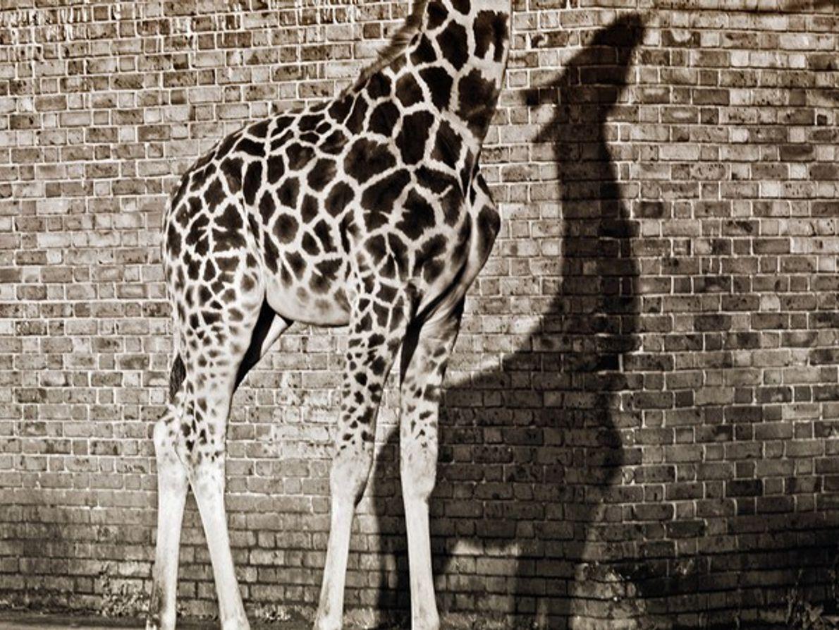 Sombra de una jirafa en un muro de ladrillo