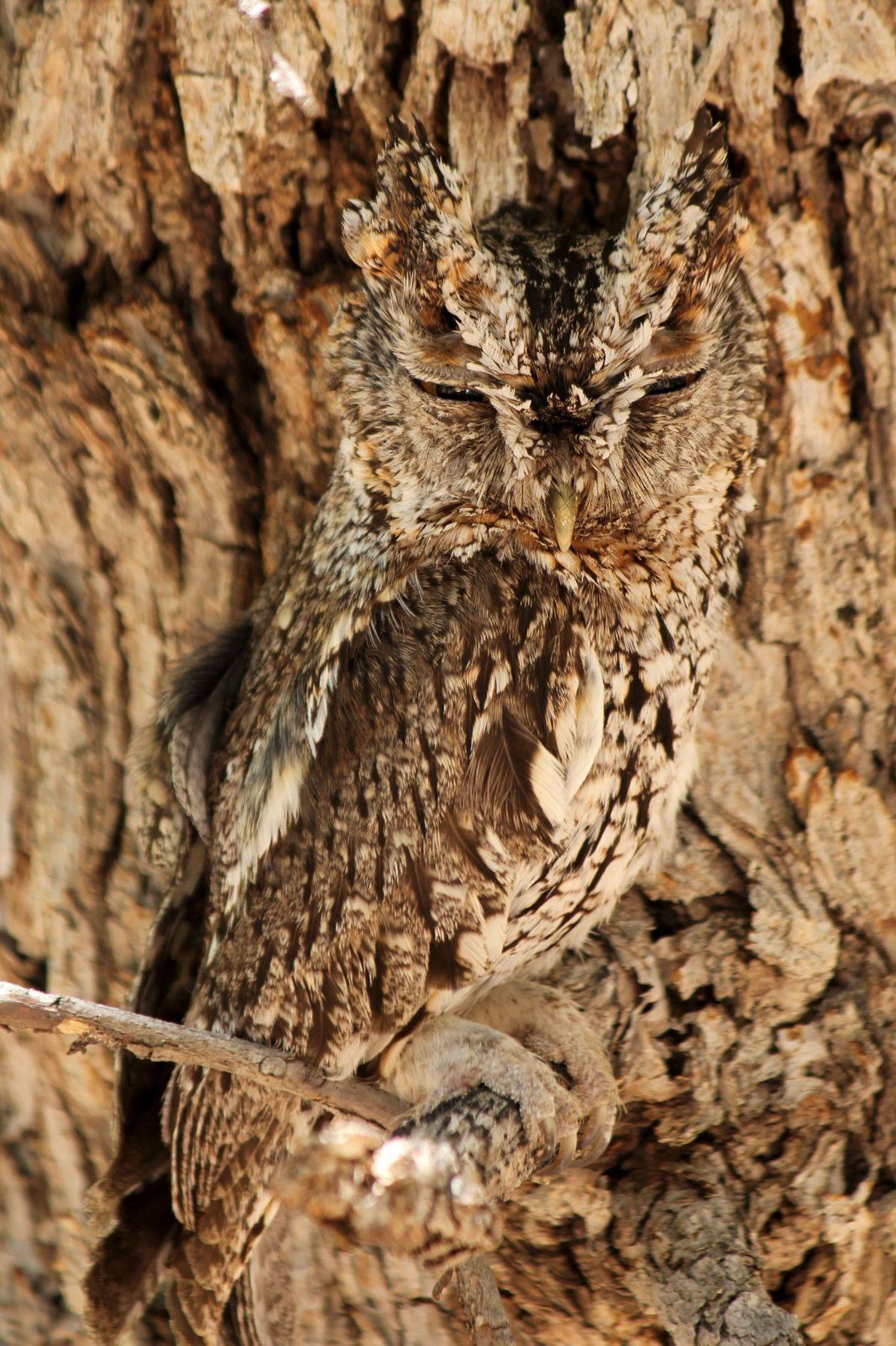 Whiskered screech owl. Cave Creek Canyon, Arizona, United States
