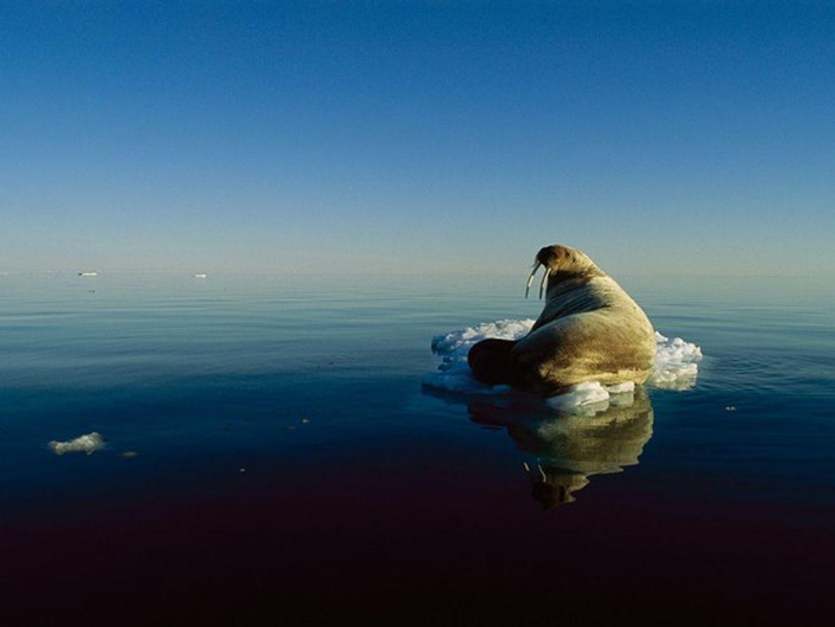 Morsa sola sobre un témpano de hielo