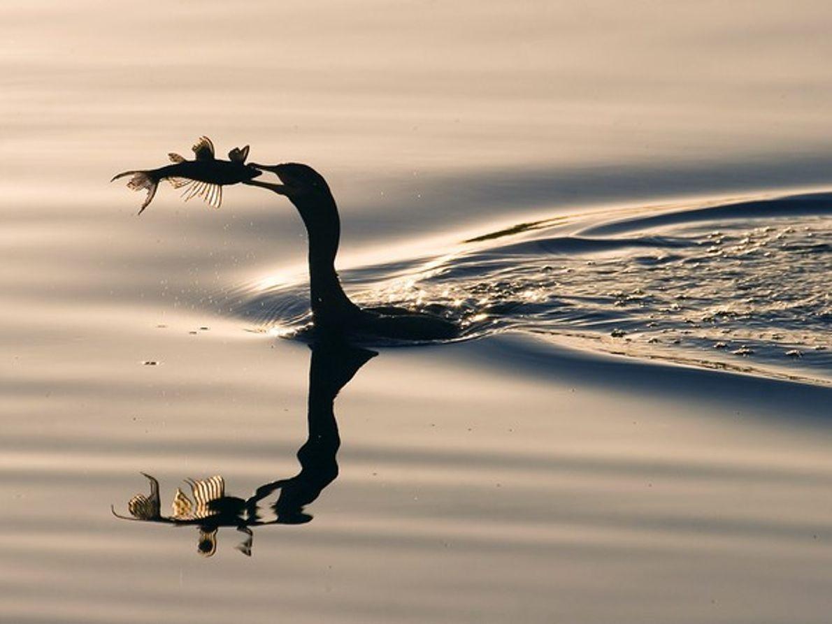 Pájaro nadando con un pez en el pico
