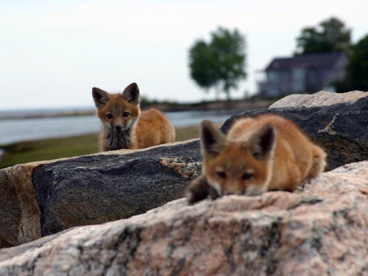 Zorros rojos sobre piedras