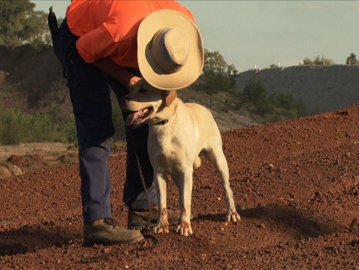 Labradores en Australia
