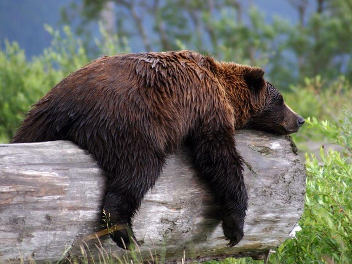 Oso pardo durmiendo sobre un tronco