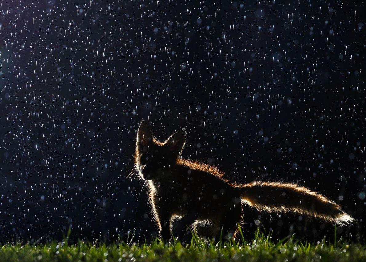 Un zorro en acción bajo la lluvia
