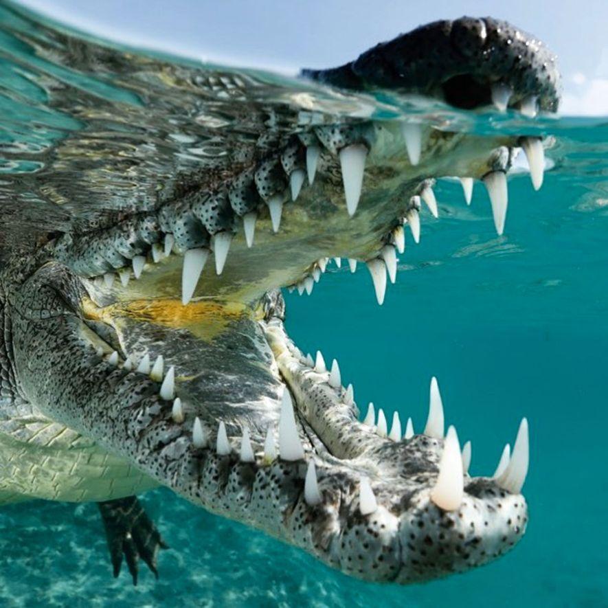 Los lugareños lo llaman Niño. «Con casi dos metros y medio de largo, a este cocodrilo …