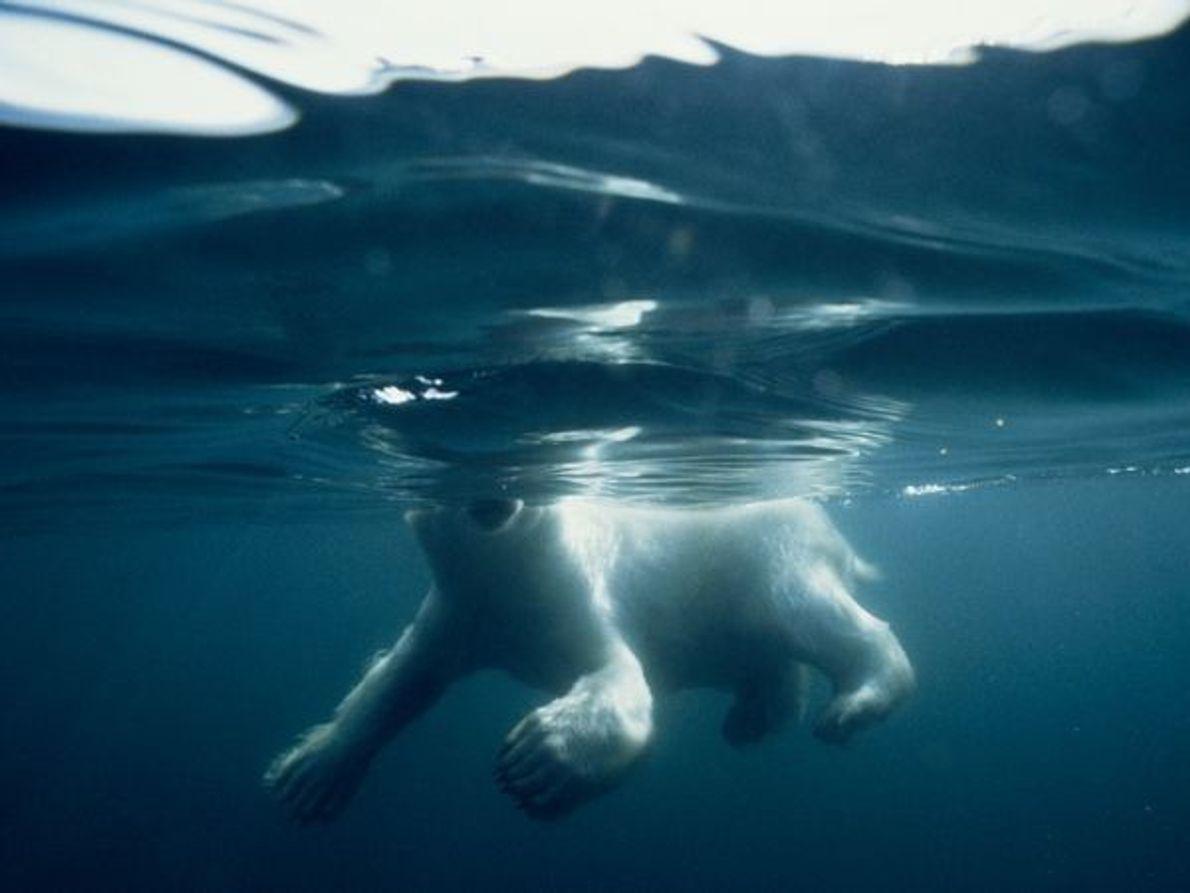 Oso polar en la Bahía Hudson