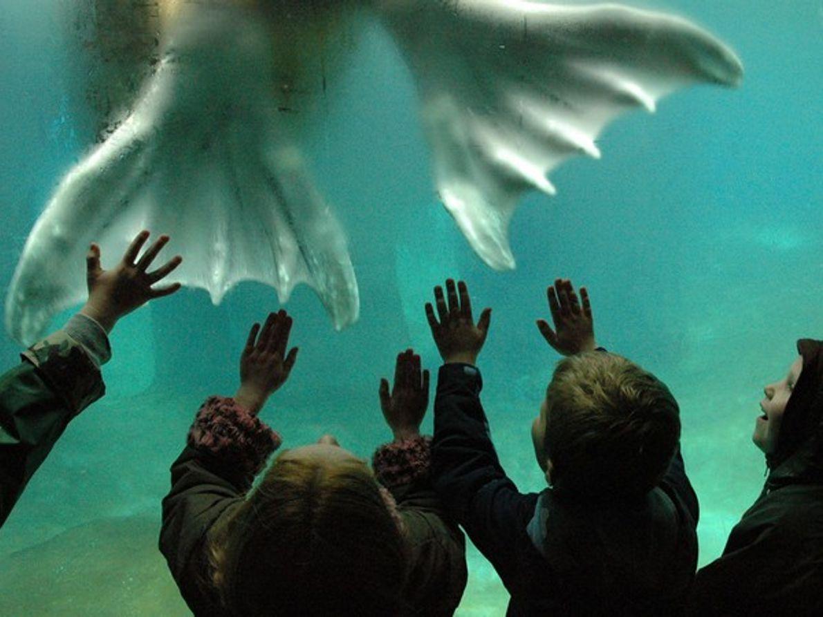 Niños observando una morsa en el tanque de un aquari