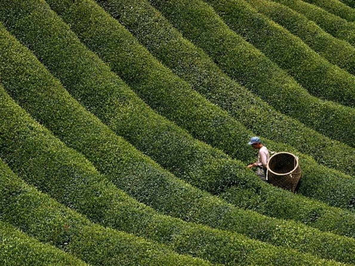 Recolectando té