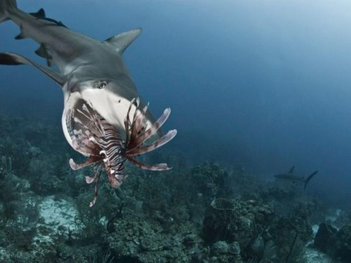 Tiburones en plena acción