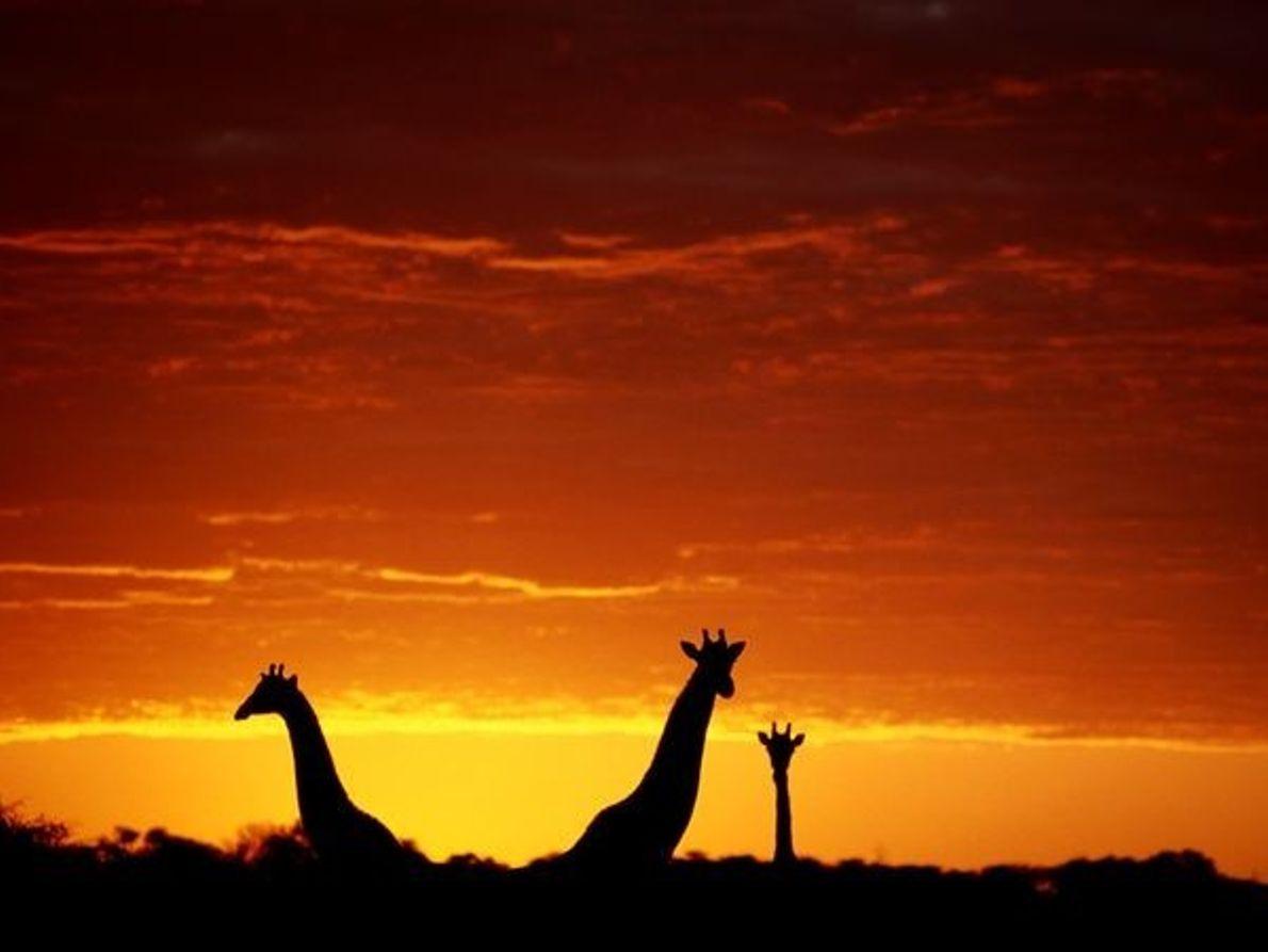 Jirafas (Botswana)