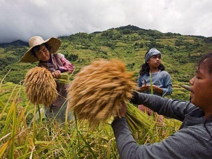 Recolectando arroz, Banaue