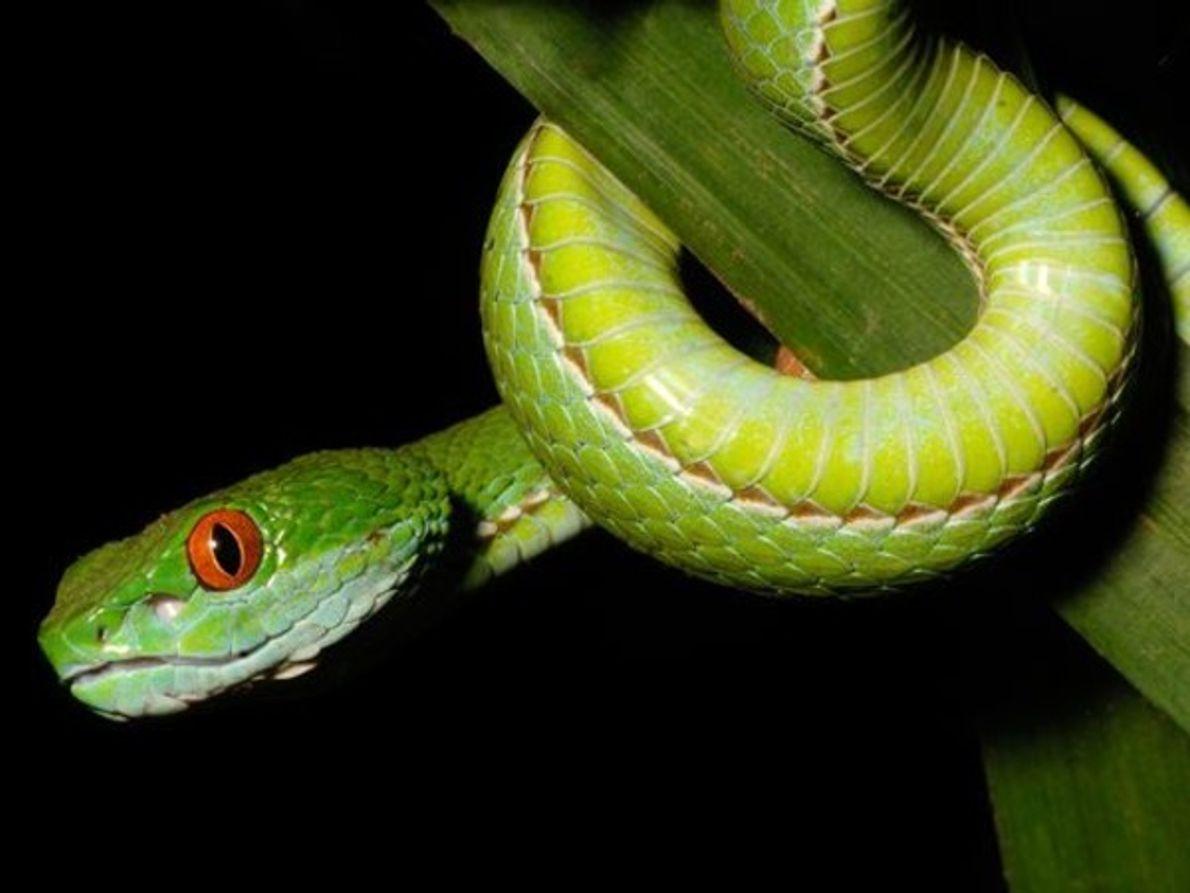 Víbora verde de ojos de rubí