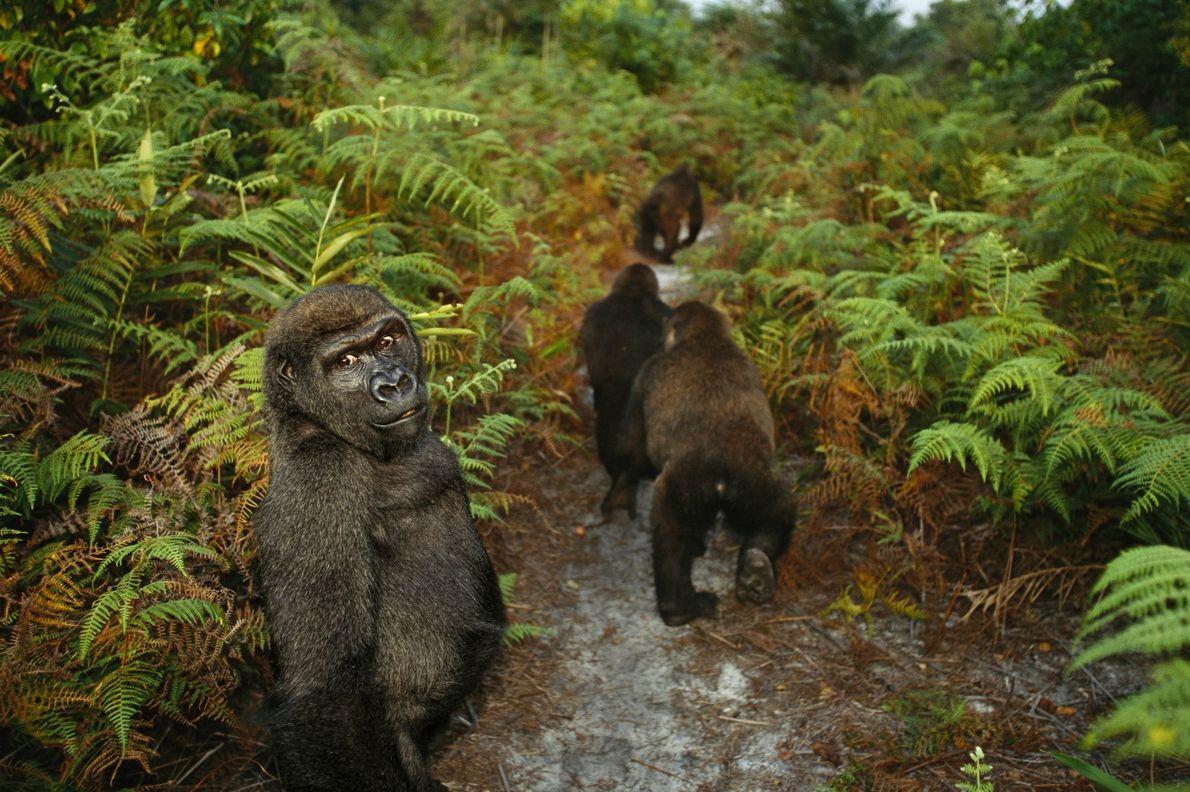 Bangha, un gorilla huérfano