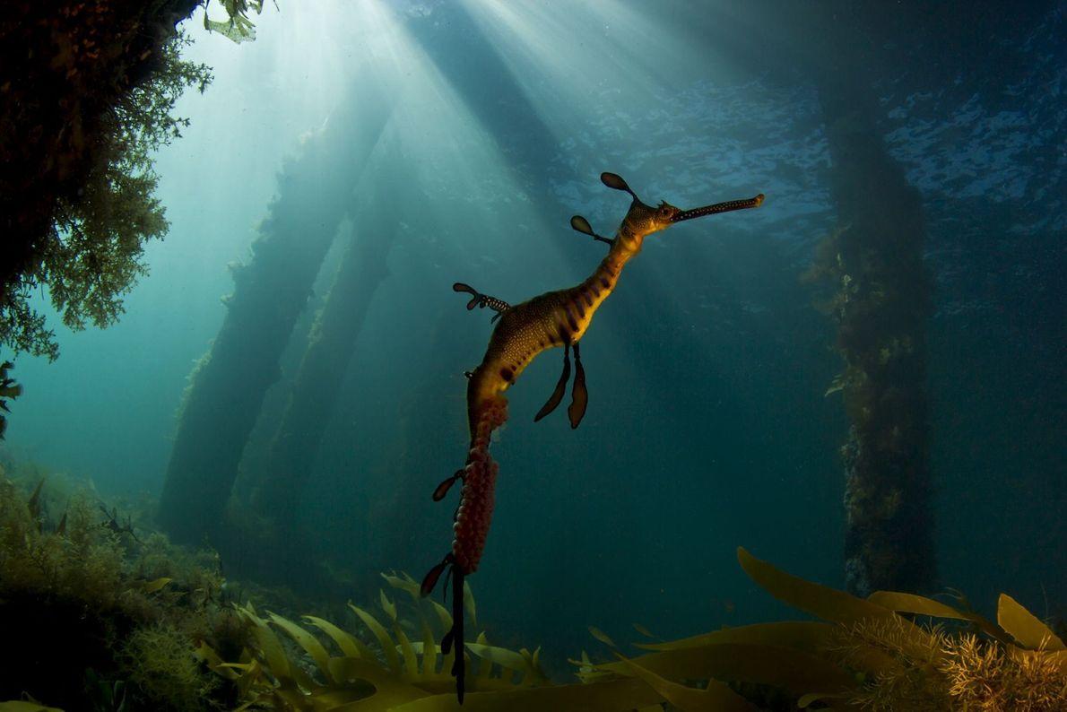 Weedy seadragon. Flinders, Victoria, Australia