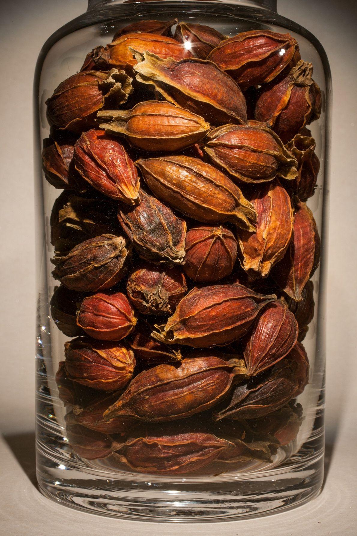 Fruto de jazmín del Cabo