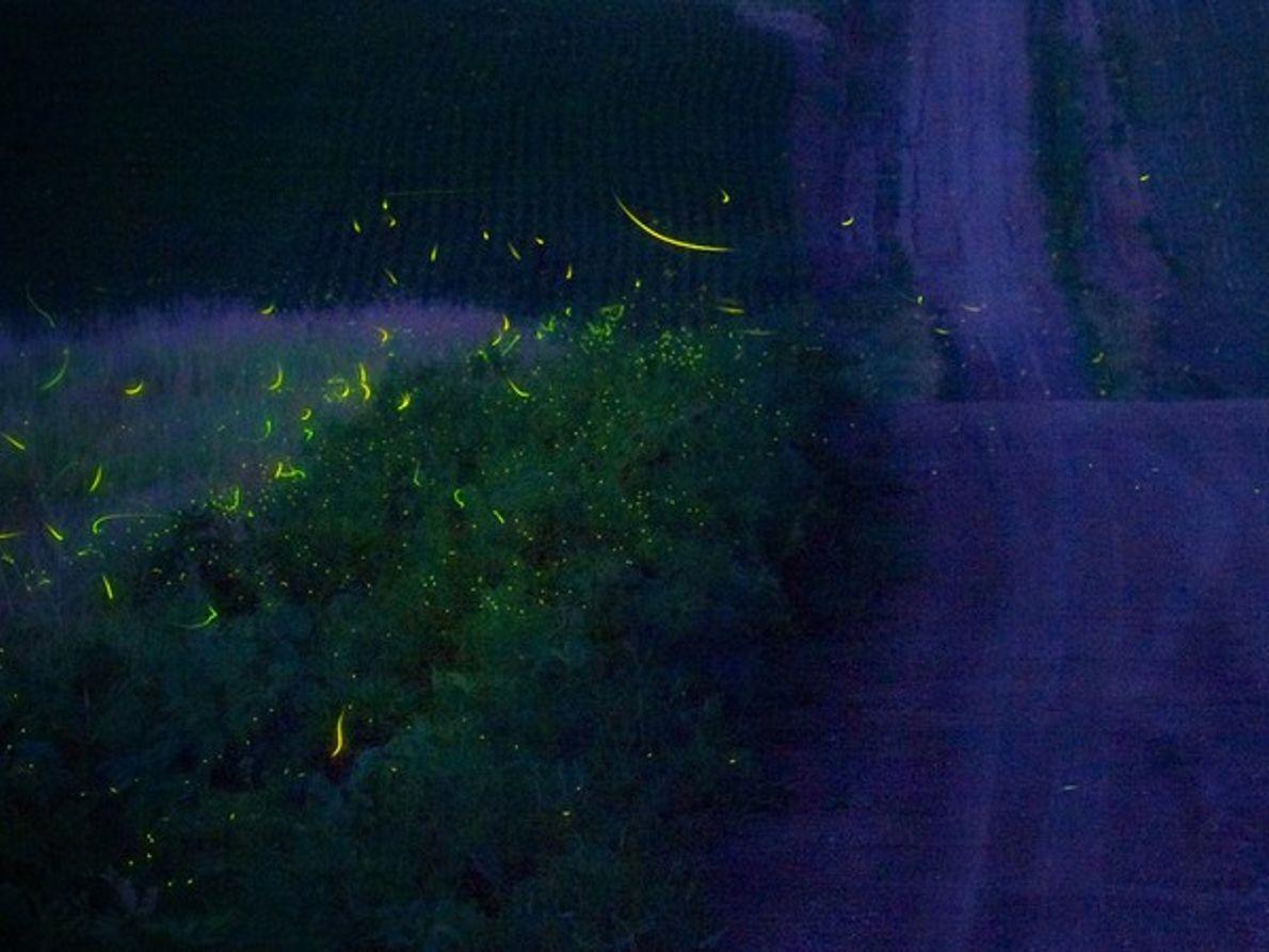 Luciérnagas en un campo de noche