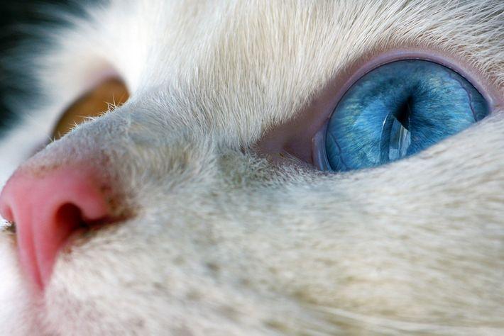 Gato doméstico, Ontario