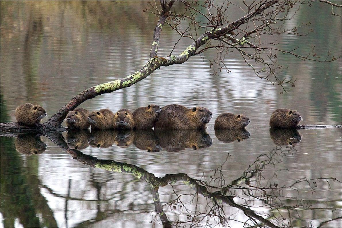 Familia de nutrias, Francia