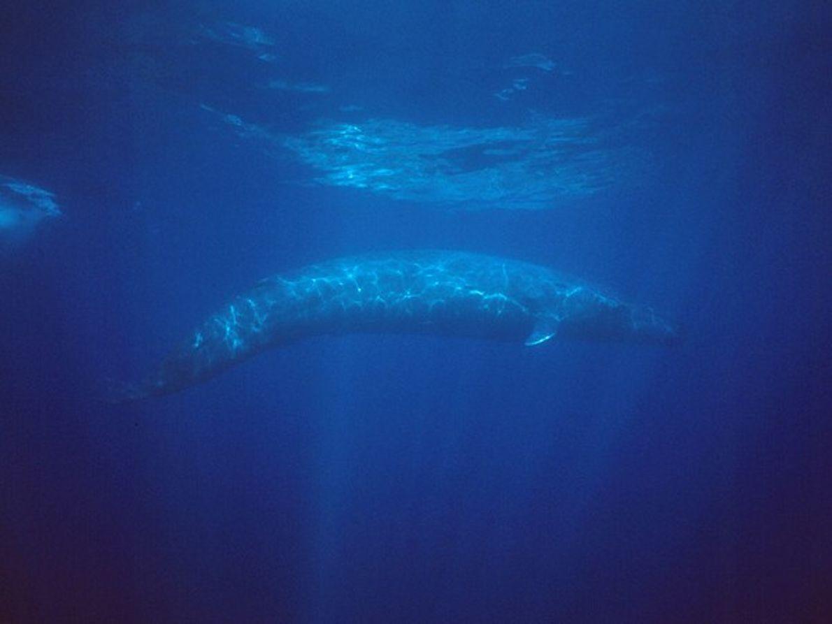 Vista submarina de una ballena azul joven