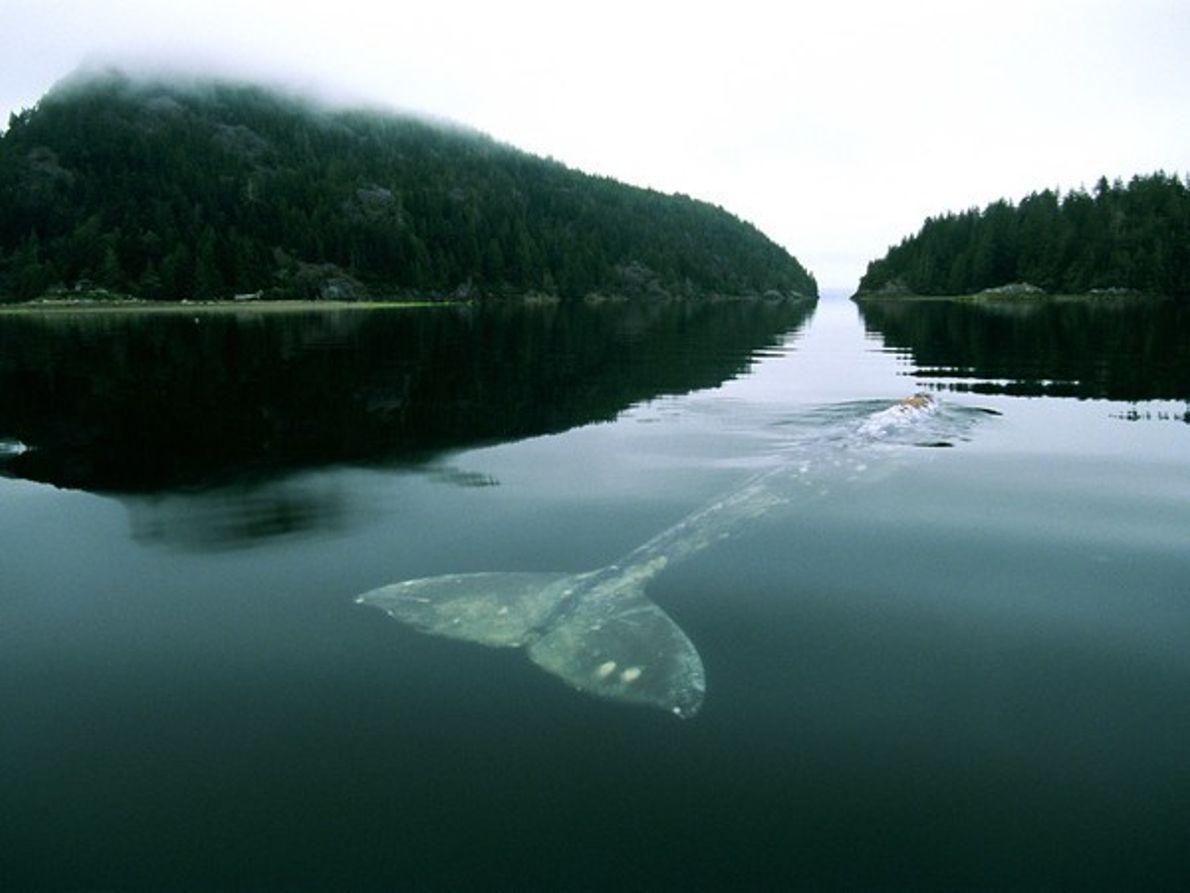 Ballena gris en la bahía de Grice
