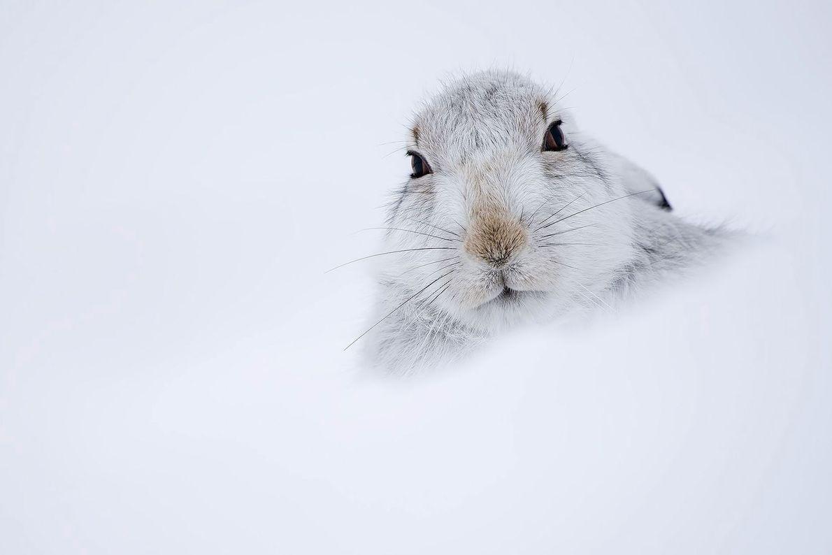 Mountain hare. United Kingdom