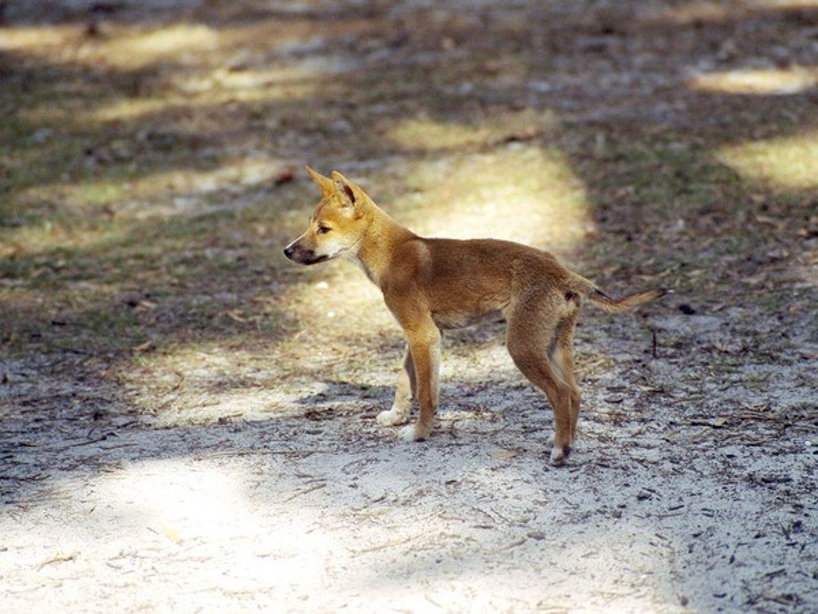 Dingo cachorro buscando alimentos
