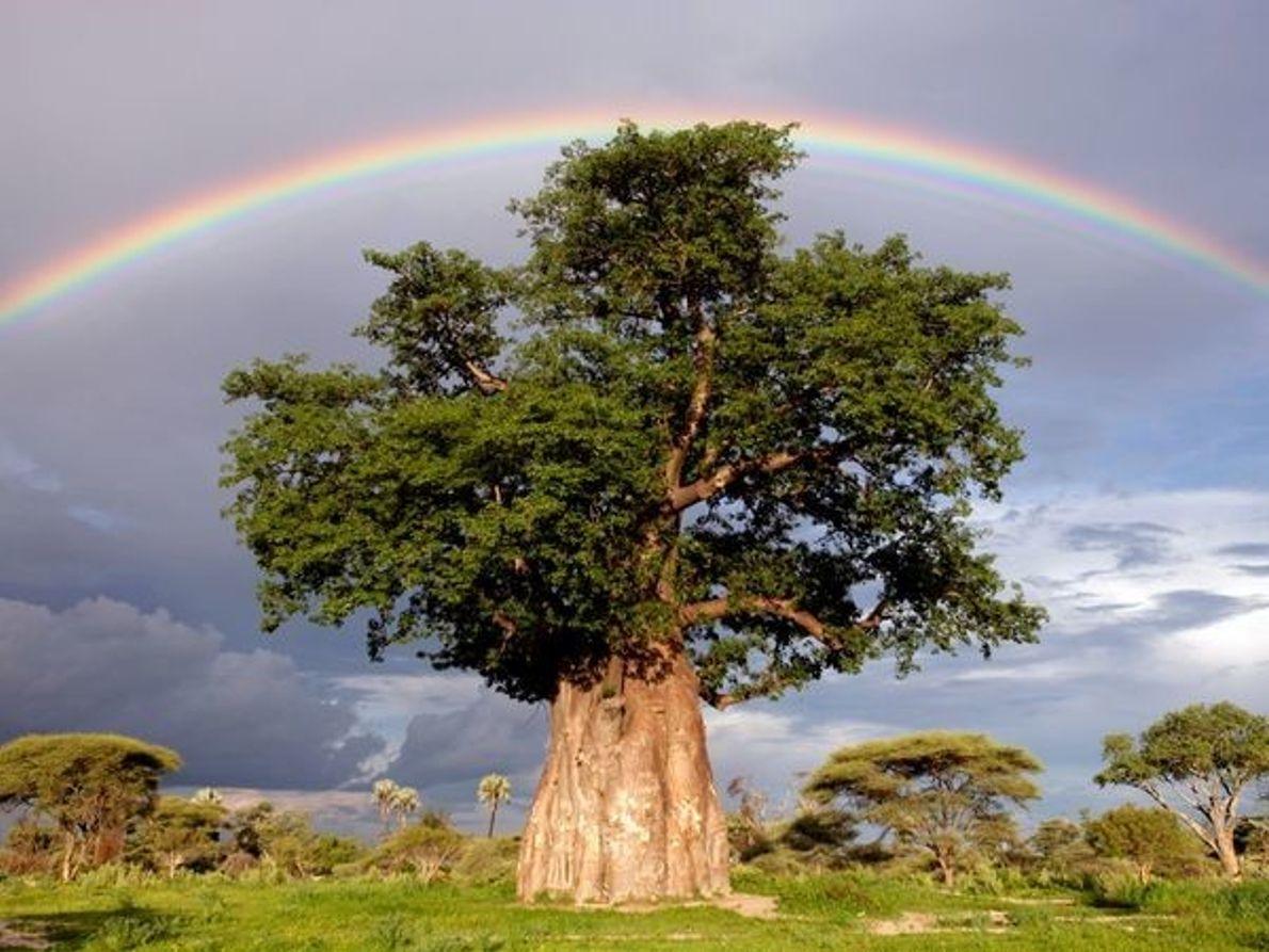Arco iris sobre un baobab