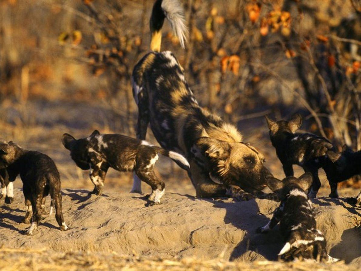 Jovenes perros africanos jugando