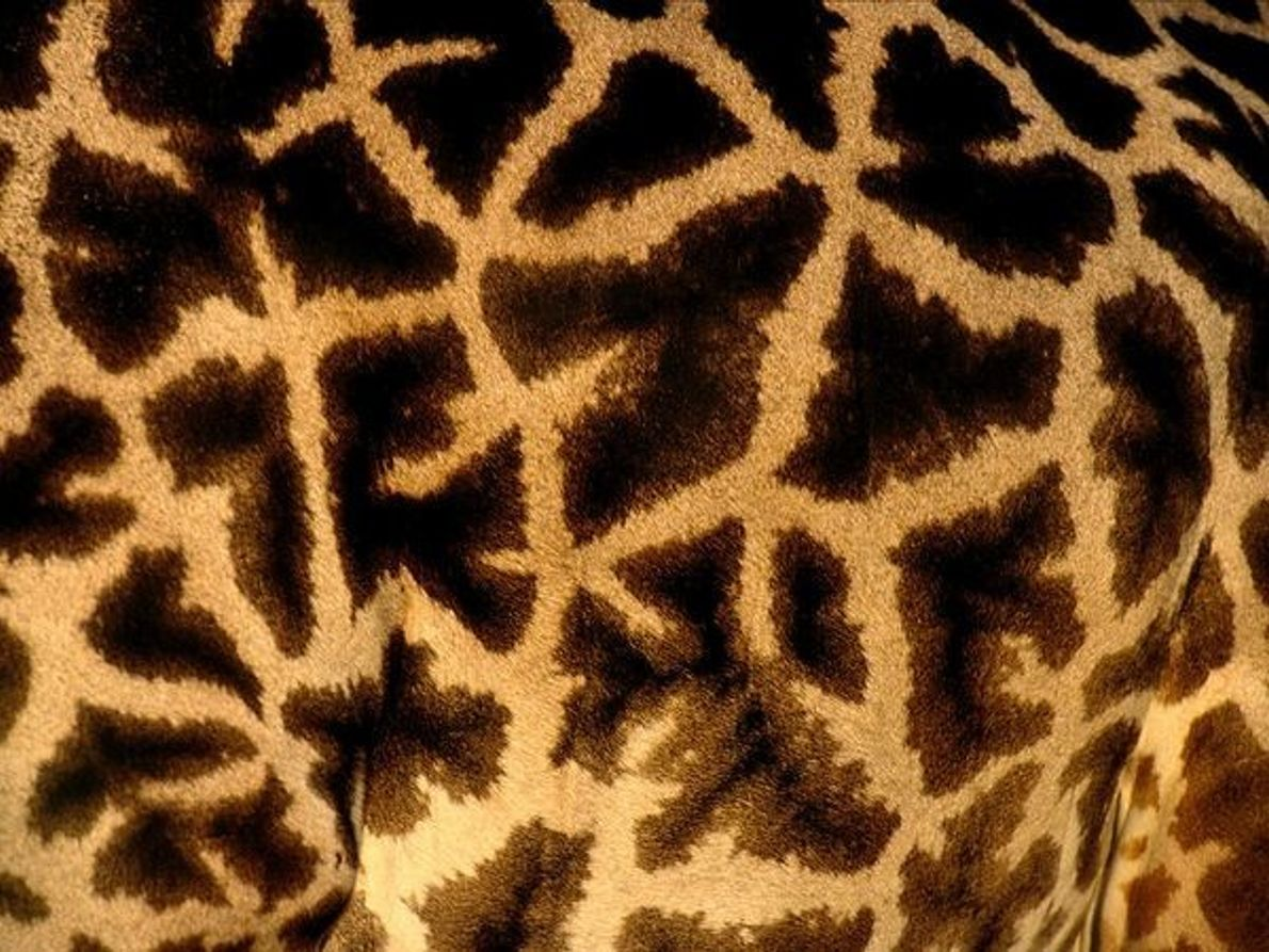 Manchas de la piel de una jirafa