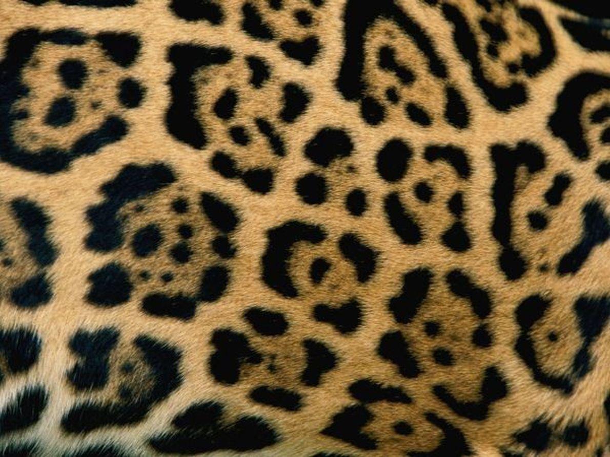 Piel de un jaguar