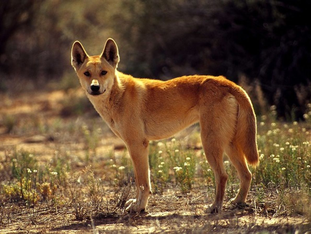 Dingo del desierto