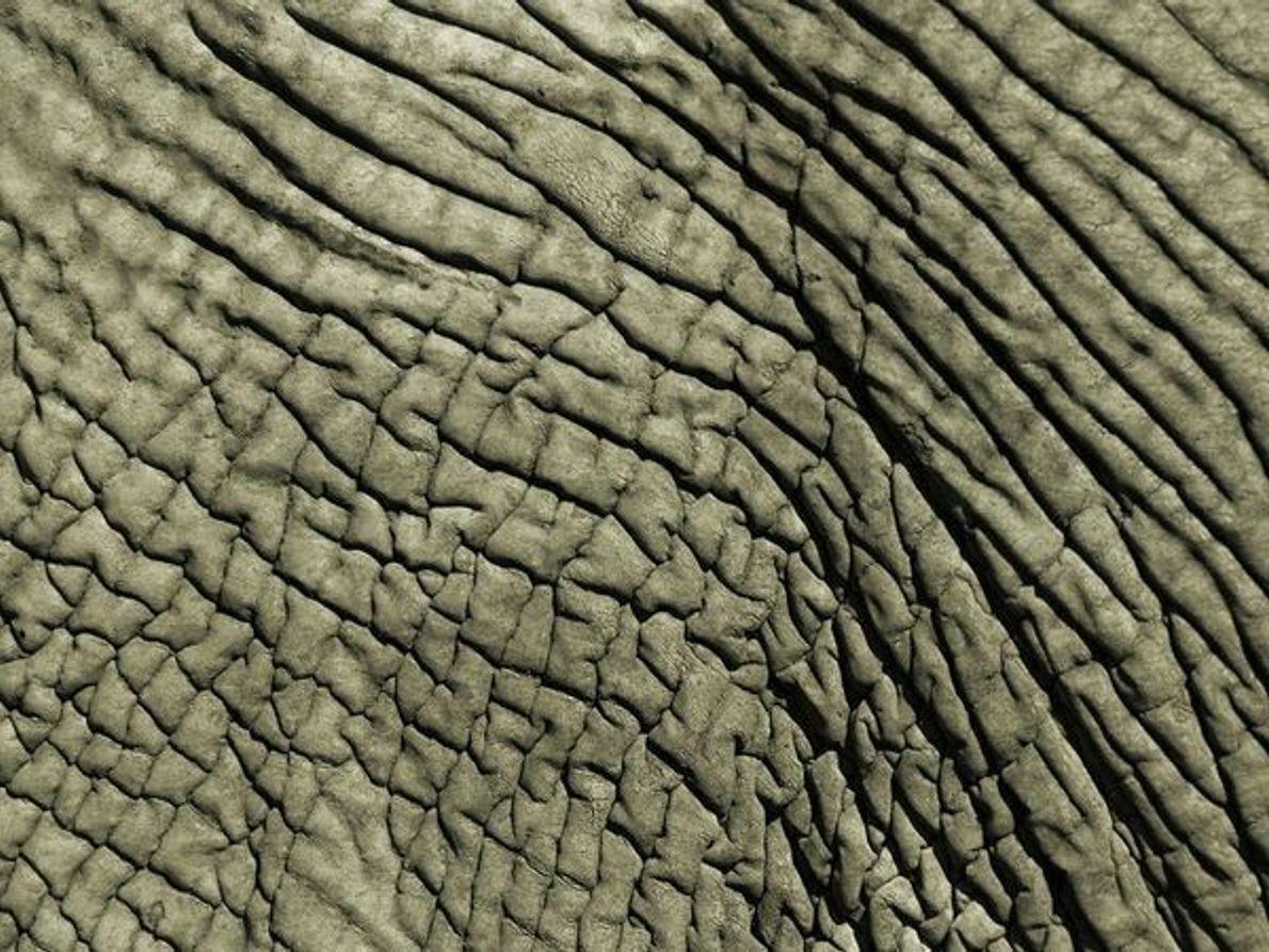 Piel de elefante africano