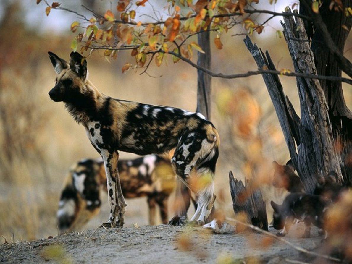 Perro salvaje africano observando