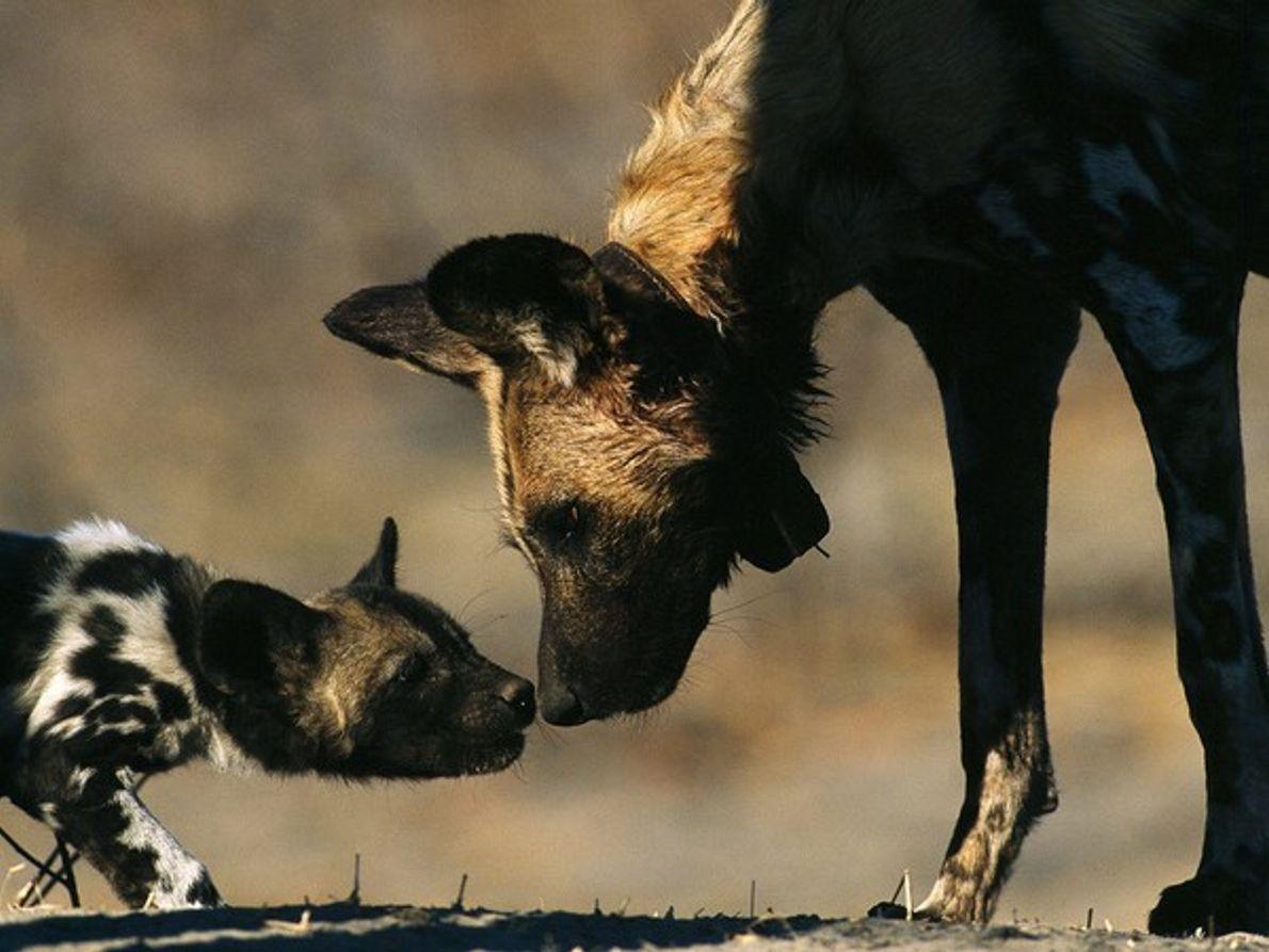 Un perro salvaje africano saluda a un cachorro