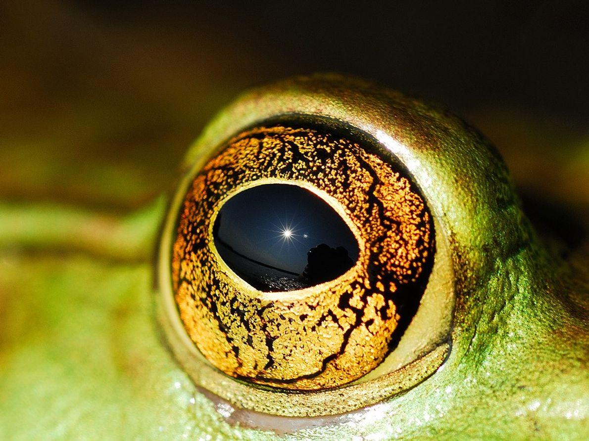 Ojo de rana toro, Ontario