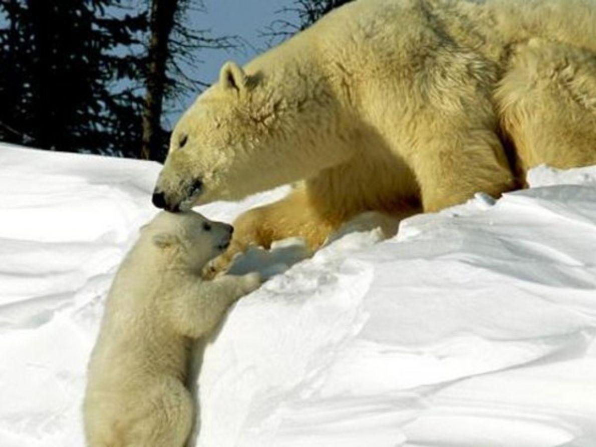 Oso polar con su osezno