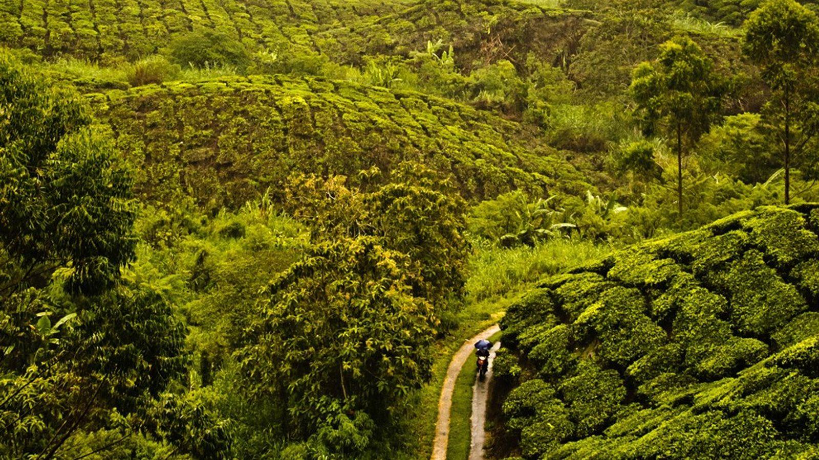 Plantación de té, Malasia