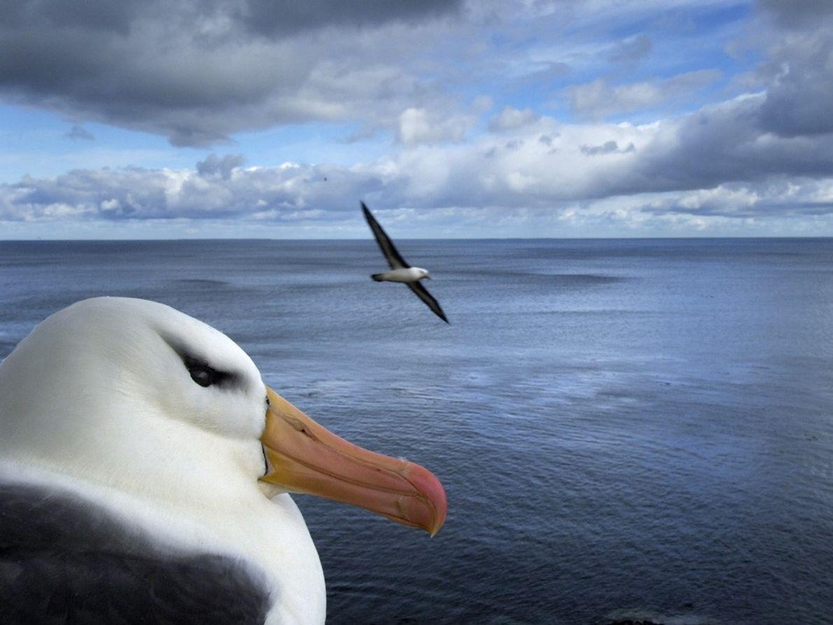 Albatros, Islas Malvinas