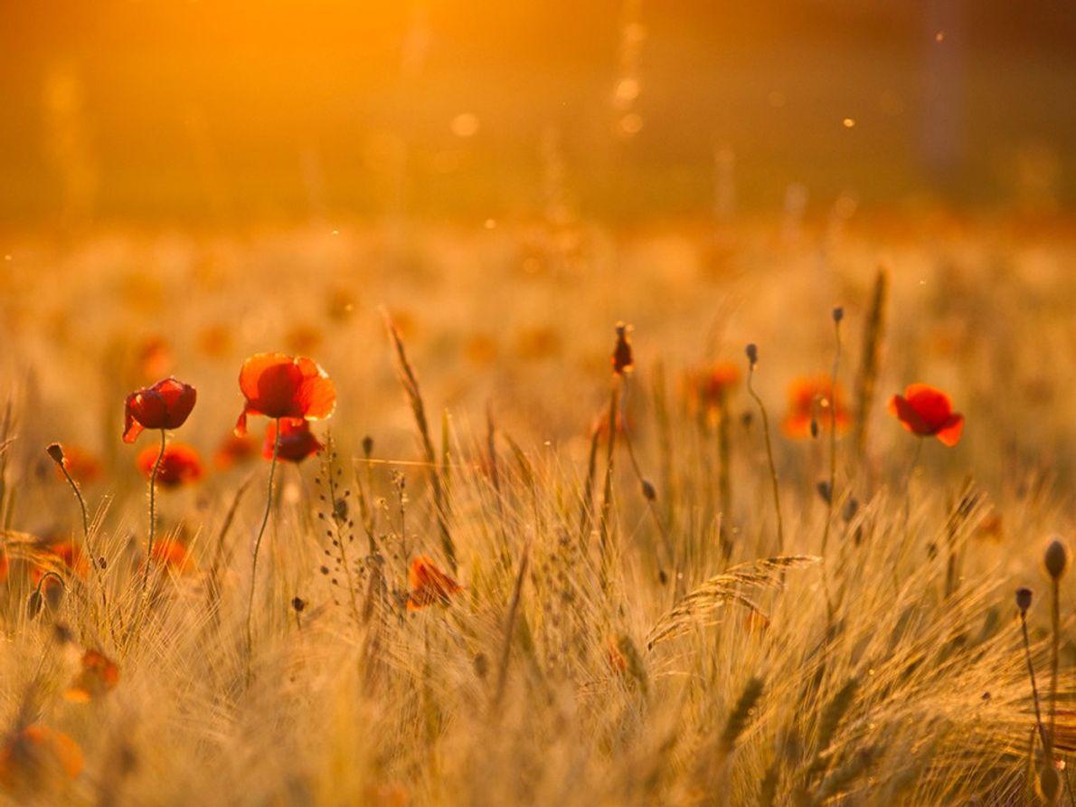 Campo de amapolas en la puesta de sol