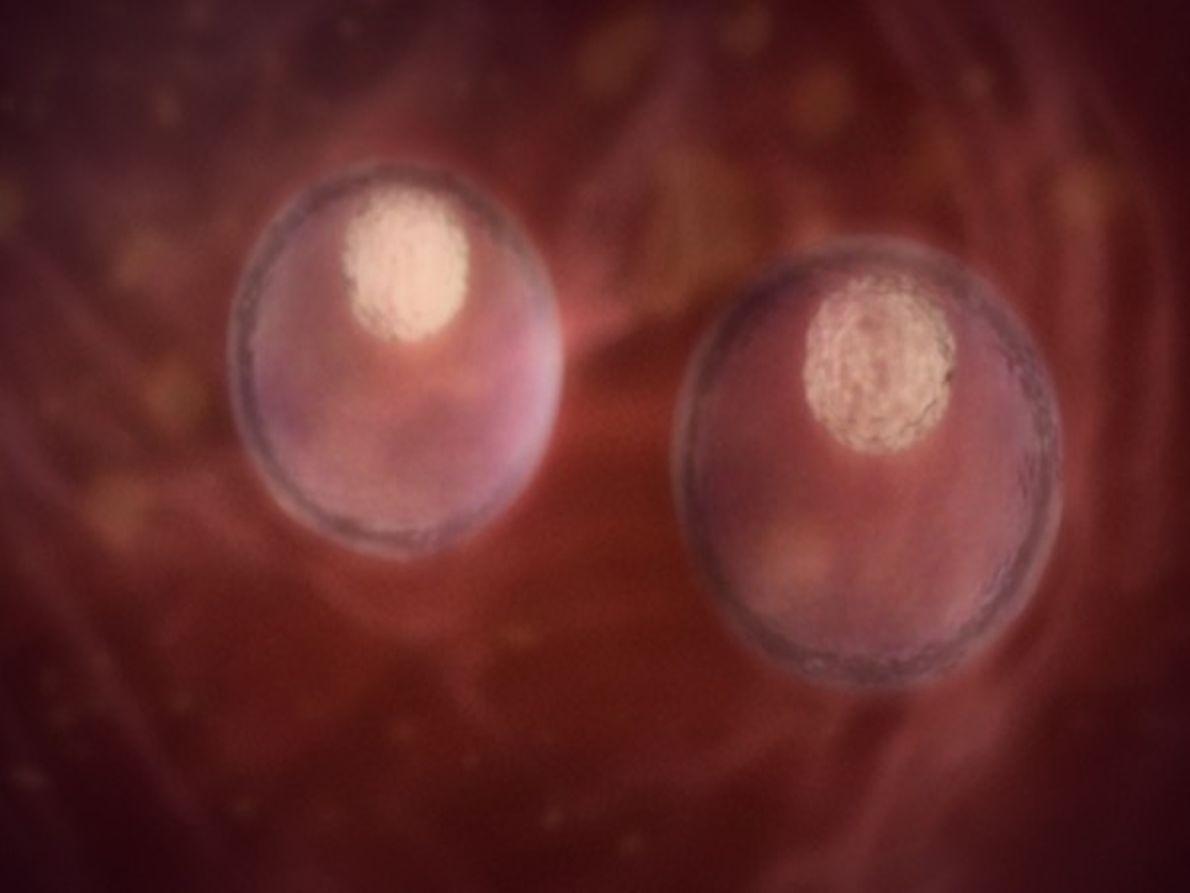 En el vientre materno: Gemelos, Mellizos y Trillizos