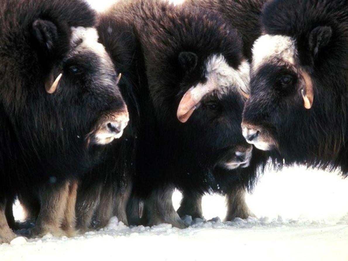 Su piel peluda y espesa mantiene al buey almizclero caliente en la dura tundra ártica.