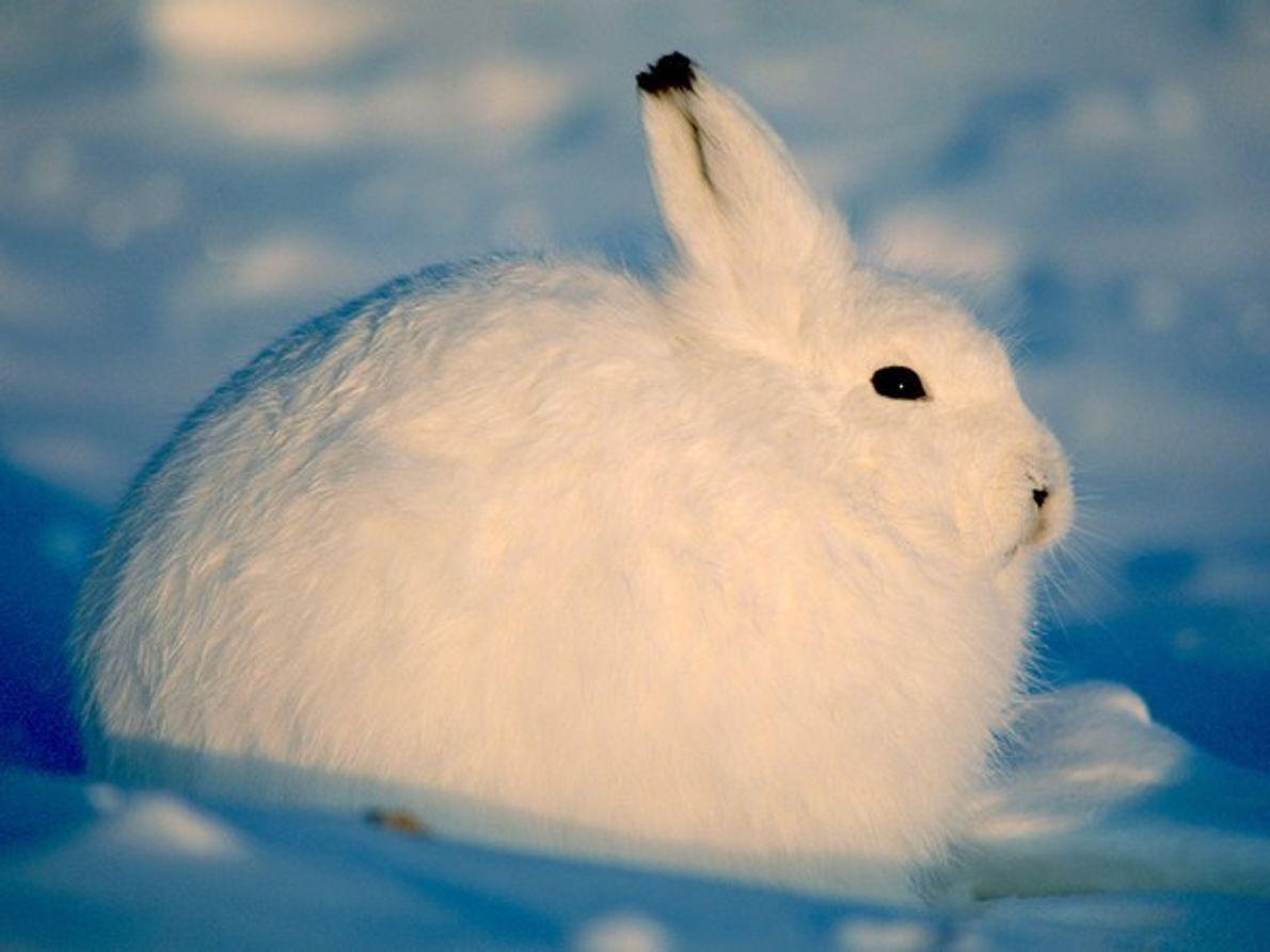 Las orejas acortadas y la piel gruesa y blanca se encuentran entre los rasgos físicos que …