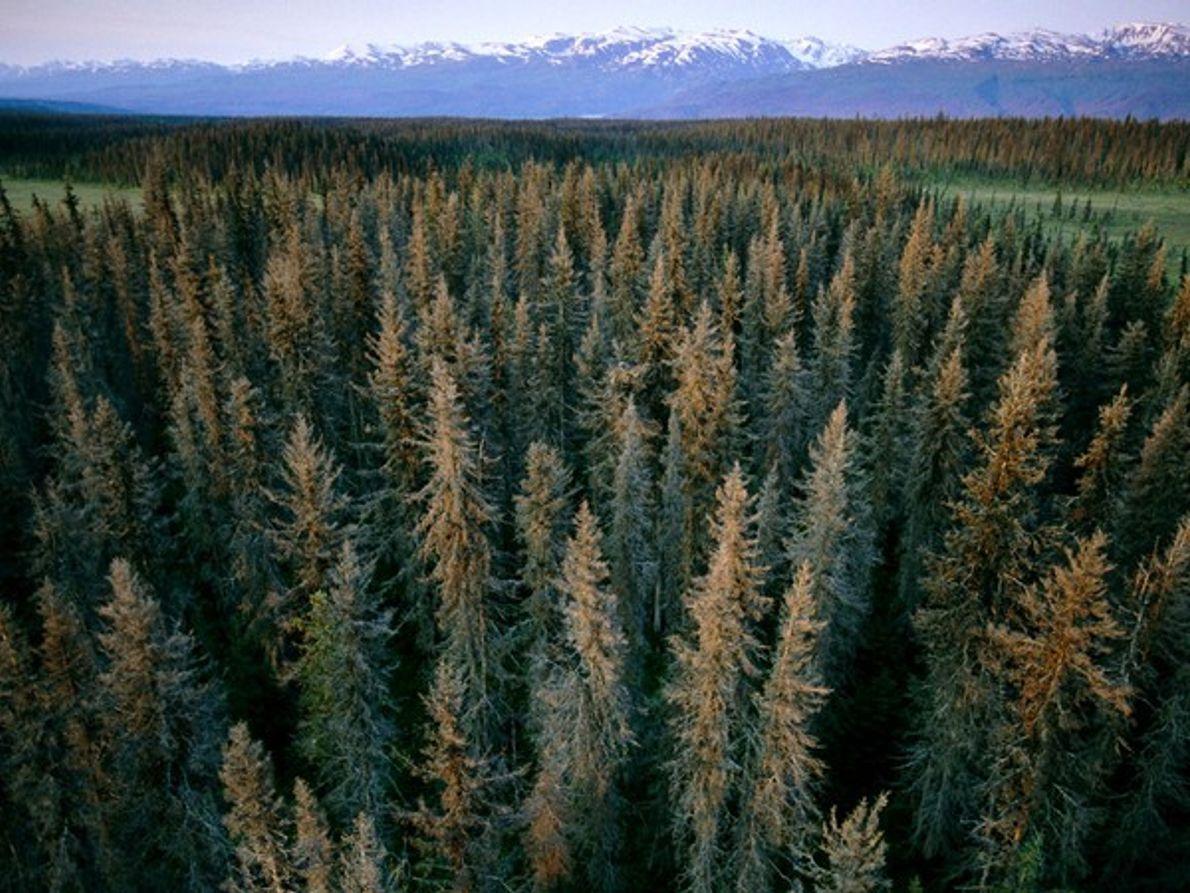 Piceas de Alaska