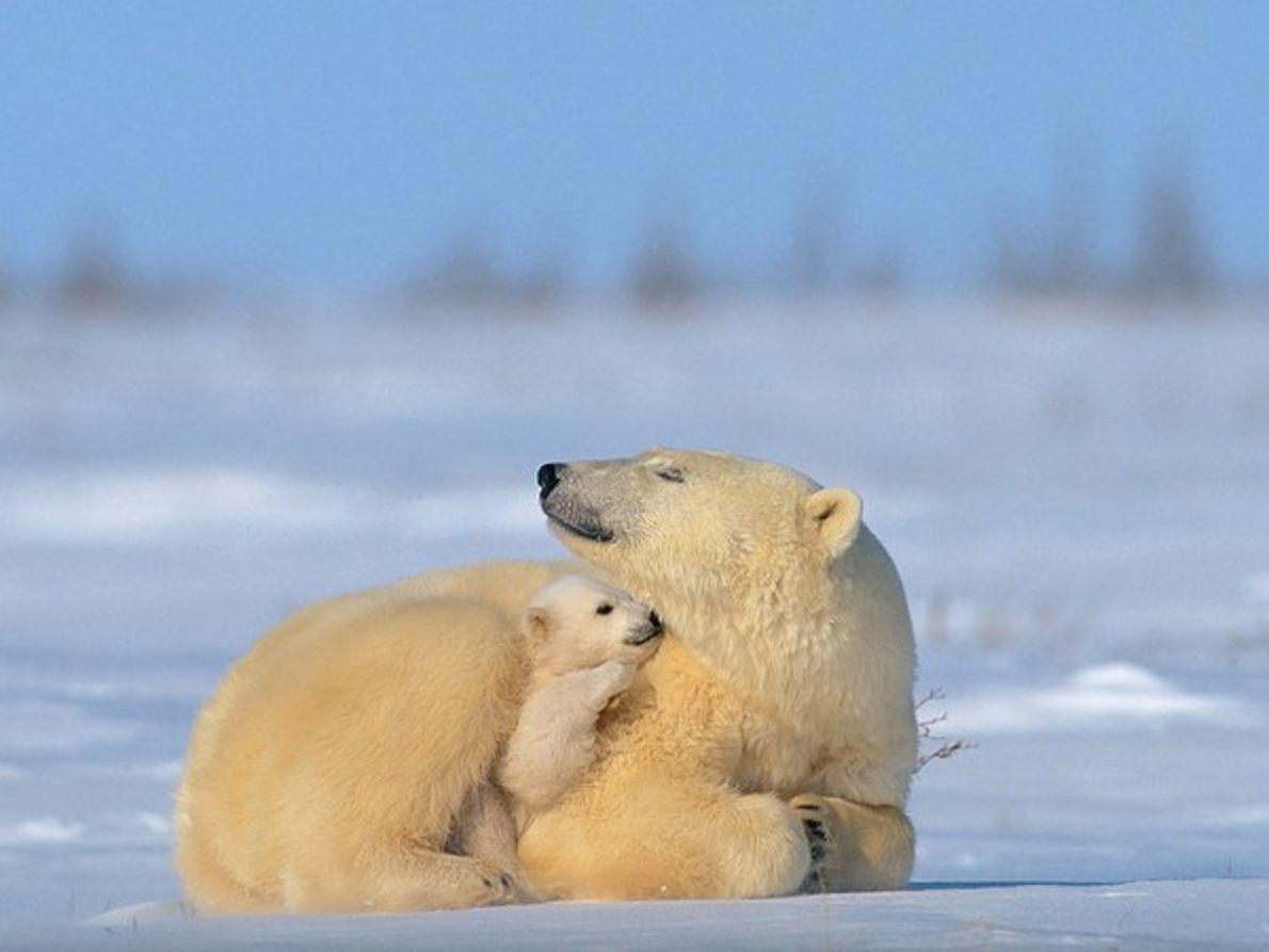 Osezno polar en la gloria