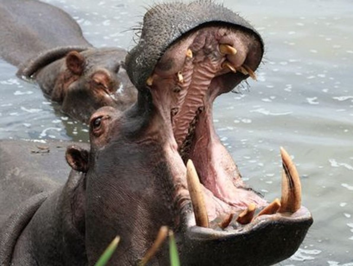 Hipopótamo, Zambia