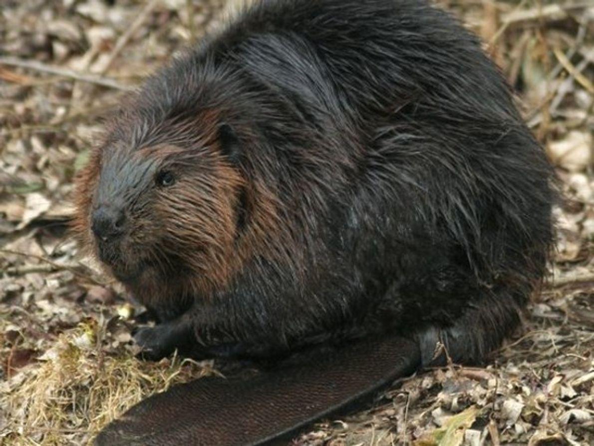 Los castores son ingenieros ambientales. Tras los seres humanos es uno de los pocos animales que …